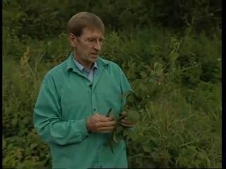 Свойства листьев ежевики